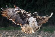 Хищная птица из семейства соколиных, распространённая на всех континентах, кроме Антарктиды.  Размером с серую ворону...