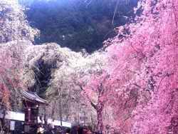Весна в Японии прежде всего ассоциируется с сезоном цветения сакуры.  Этот сезон начинается не...